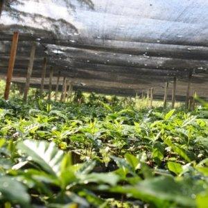 """画像4: コロンビア「エル・ロブレ農園 〜メサ・デ・ロス・サントス〜 - Mesa de los Santos """"Organic""""」(250g袋入)"""